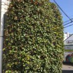 街でみかけたキンモクセイの木