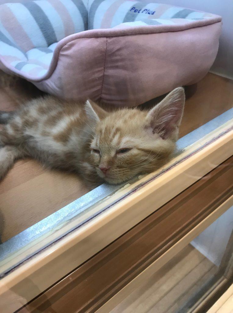ペットショップで見た猫ちゃん